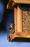 Specht an der Vogel-Zufuhr Stockfotos