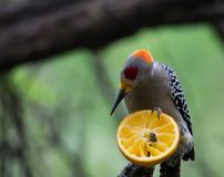 Specht, der Zitrusfrucht in einem Nationalpark isst lizenzfreie stockbilder