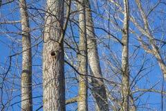 Specht gecreeerde gaten in een boom royalty-vrije stock afbeeldingen