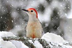Specht im Schnee Stockfotos