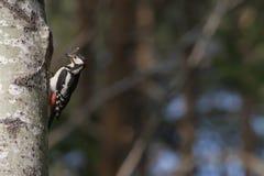 Specht mit Libelle für Hintergrund- oder Kopienraum Stockfotografie