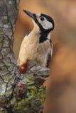 Specht op de boomstam van een perenboom die wordt neergestreken Royalty-vrije Stock Fotografie