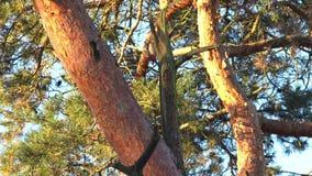Specht op een boom stock videobeelden