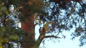 Specht op een boom stock video