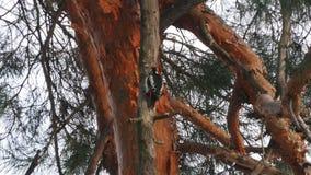 Specht op een boom in de winterbos stock videobeelden