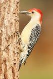 Specht op een boomboomstam Stock Afbeelding