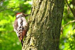 Specht op een gat van de boomboomstam Stock Foto