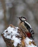 Specht op een rot, sneeuwlogboek Stock Afbeelding