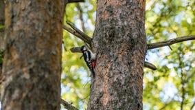 Specht sitzt auf dem Baum, Herbst in Sibirien lizenzfreie stockfotos