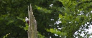Spechte auf einem Baum im Wald unter dem Regen lizenzfreie stockfotos