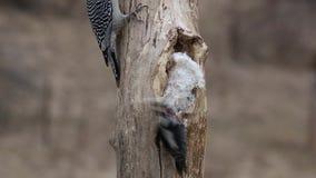 Spechten die niervet op een boomstomp eten stock video