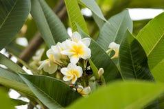 Speci bianche di plumeria (frangipane fiorisce, frangipane, tre della pagoda Fotografia Stock Libera da Diritti