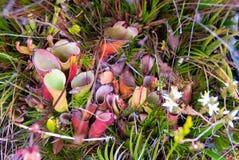 Speci della heliamphora , Endemico, pianta carnivora sul Roraima Tepui, V Immagine Stock Libera da Diritti