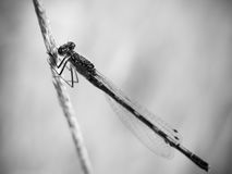 Special black and white damsel fly on grass stalk Royalty Free Stock Photo