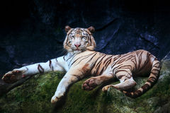 Special color tiger lying with relaxing on rock clift and lookin Stock Photo