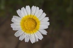 Special daisy Royalty Free Stock Photos