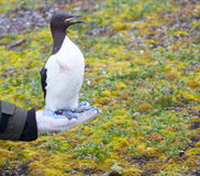 Special electronic devices and tags and rings to track the migration. Scientific research in ornithology: Guillemot with JPS-logger, leg-colars and metal ring Royalty Free Stock Photos