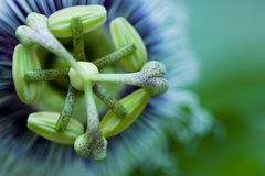 Special Flower Of Grenadilla Stock Photos