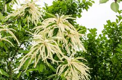 The special flowers of the chestnut!. In spring it makes a flower shaped like a long spike, the bees with these flowers create one of the best honey ever stock image