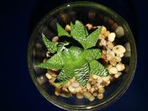 Cactus terrarium Royalty Free Stock Images