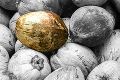 Special golden treasure among many able to distinguish among the gray fruits of monochrome coconuts of the brethren stock photos