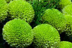 Special Green Chrysanthemum in gardan Stock Photo