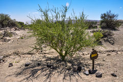 Special green tree with green trunk in Valle de la Luna, Argenti Stock Photography