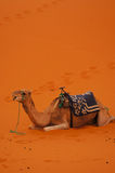 In special  holiday on a camel ride Royalty Free Stock Photos