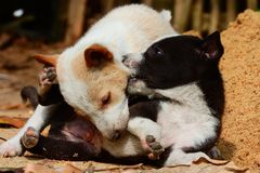 Special Playing puppies. Special moment of puppies.Two puppies are playing together in a sunny morning stock photography