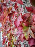 Special red Autumn leafs in israel stock photos