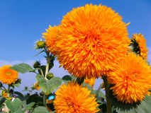 Special sunflowers Stock Images