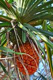 Special thai fruit. Of the palm tree Stock Photo