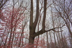 Special tree. In woods winter Stock Photography