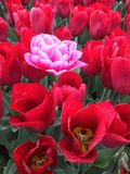 Special tulip in field. Special pink tulip in field of red blooms as metaphor for uniqueness Royalty Free Stock Photo