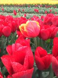 Special tulip in field. Yellow tipped red tulip in field of red tulips as metaphor for uniqueness or difference Royalty Free Stock Photography