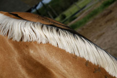 Special white mane on a ligh brown colored purebred horse Stock Images