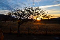 Speciale mooie boom met droge takken in zonsondergang met landbouwbedrijfomheiningen Royalty-vrije Stock Foto