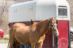 Specialised horse trailer. Brown horse in front of a special horse trailer Stock Photography