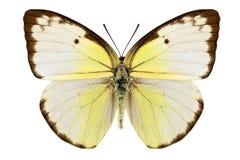 Specie Catopsilia Pomona della farfalla fotografia stock
