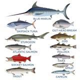 Specie commerciali del pesce illustrazione di stock