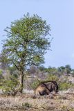 Blue wildebeest in Kruger National park, South Africa Stock Photography