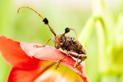 Specie degli scarabei Fotografie Stock Libere da Diritti