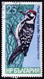 Specie dell'uccello di picchi, minore di Dendrocopos, circa 1978 Immagini Stock