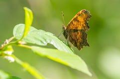 Specie della farfalla di virgola che riposano su una foglia verde - trovata vicino al fiume del Minnesota nella riserva nazionale immagine stock