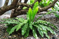 Specie della pianta in foreste tropicali Fotografia Stock