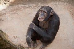 Specie di animali selvatici nella cattività, scimmie Fotografia Stock Libera da Diritti