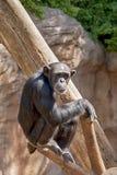 Specie di animali selvatici nella cattività, scimmie Fotografia Stock