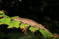 Specie di anolis che dormono in lasciare nella foresta pluviale dell'Ecuador, Sudamerica fotografia stock