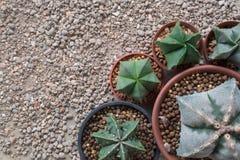 Specie di Astrophytum del cactus della stella Fotografie Stock