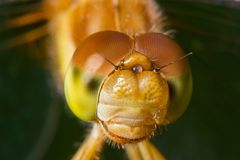 Specie di libellula del meadowhawk - primo piano estremo del fronte e degli occhi - prese al centro di legno della natura del lag immagine stock